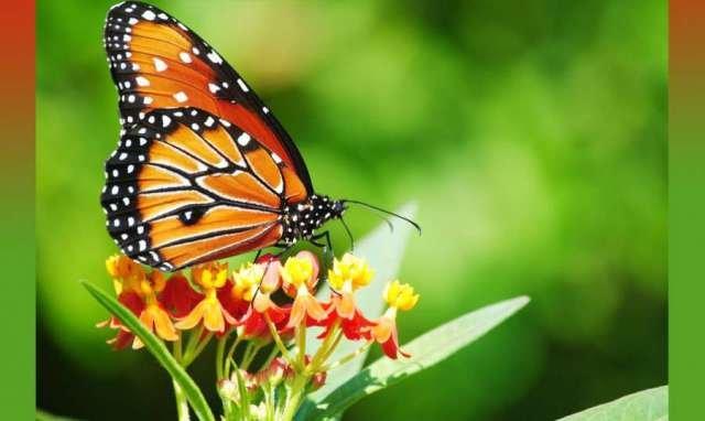Tamil Maravan Butterfly
