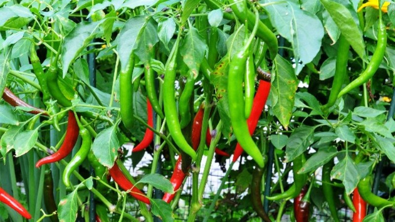 chillies cultivation