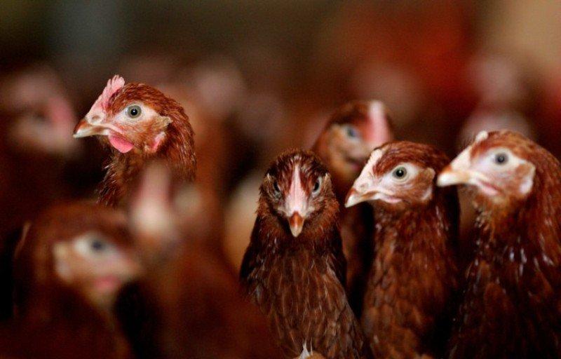 indian Poultry Farm