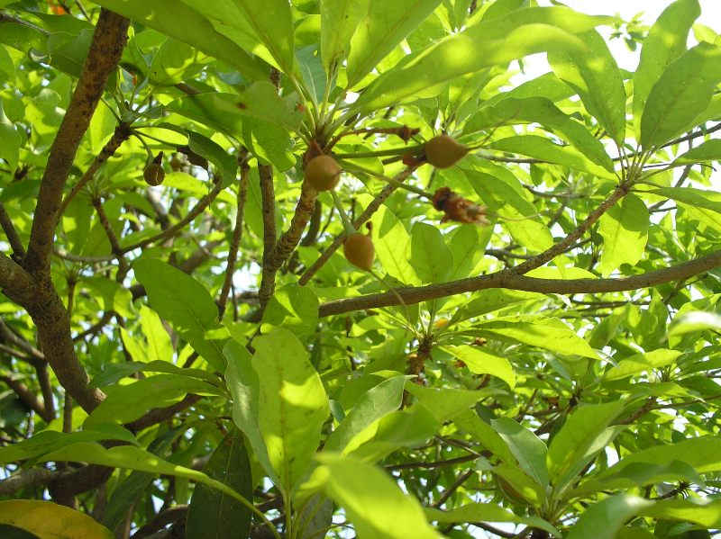 iluppai Tree/ Moha Tree