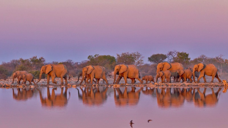 Elephants Parade During Sunset