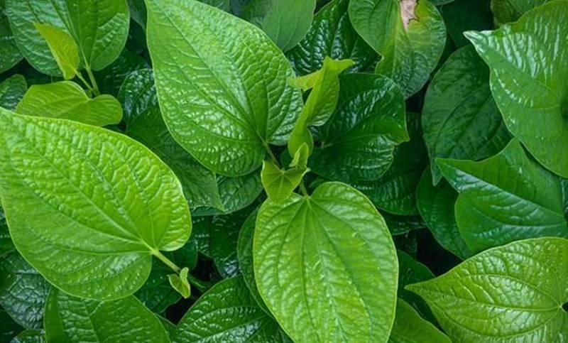 Kerala Betal Leaf