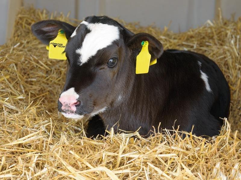Colostrum-feeding-calf