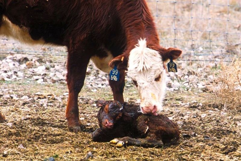Cow with new born calf