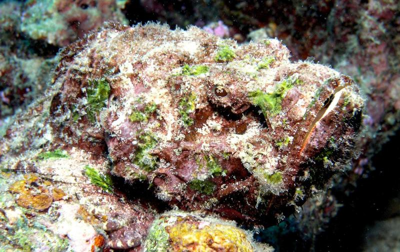 reef stone fish