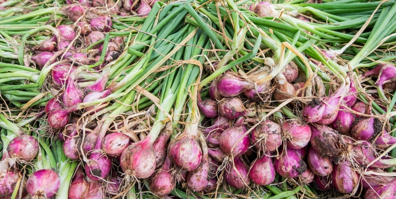small Onion Harvest