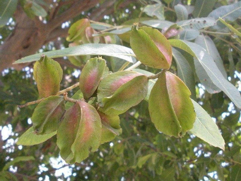 marutham Tree fruit