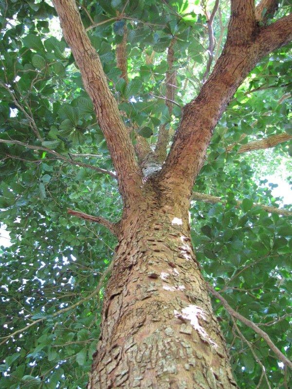 Marutham Tree