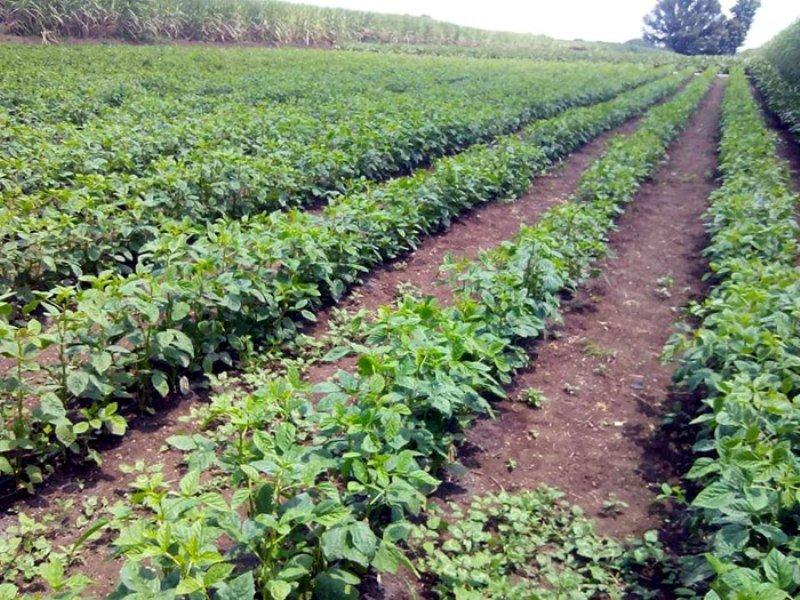 Land preparation Cluster beans