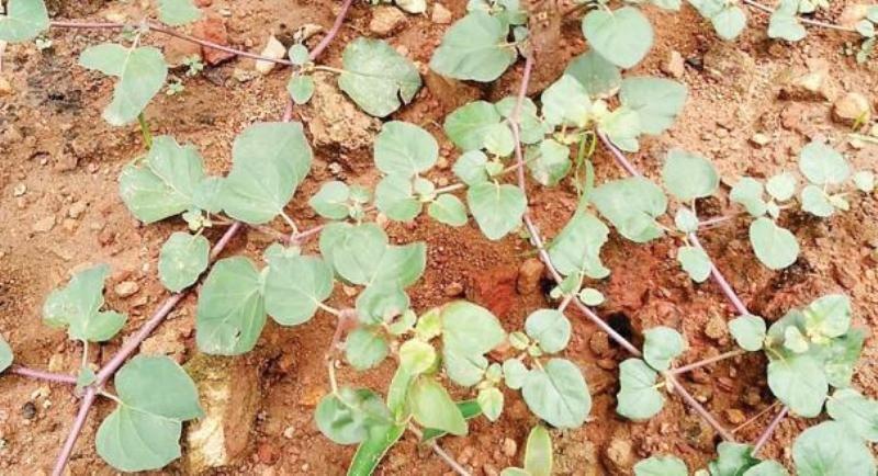 mukkirattai Herbal plant