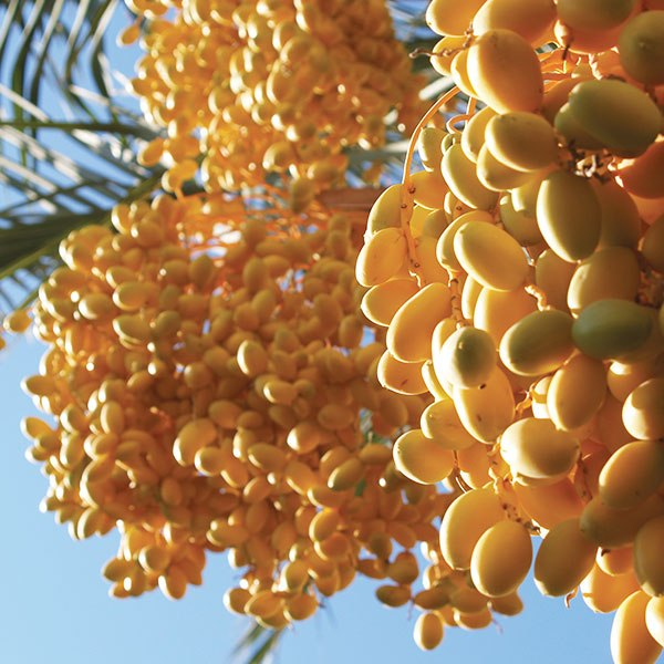 Dates Cultivation