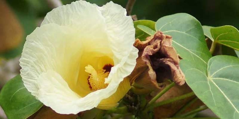 thespesia flower