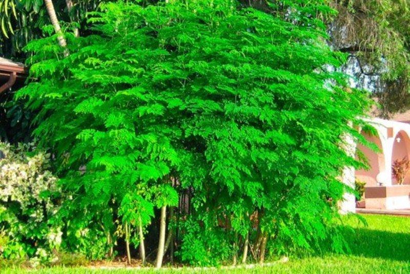 Group of Moringa Trees