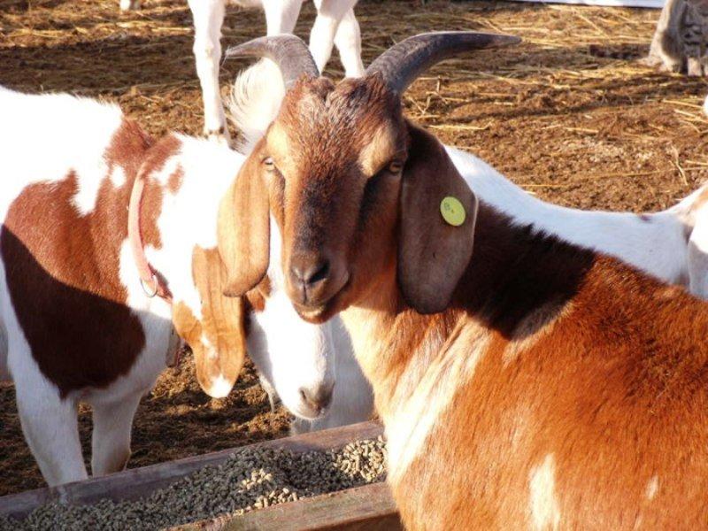 Goat Insurance