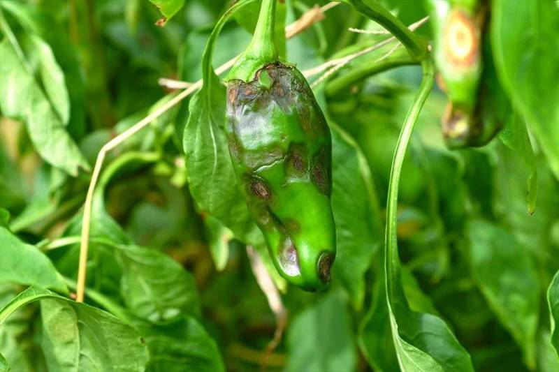 Pests and Diseases in Chilli Farming