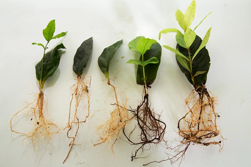 Leaf Culture