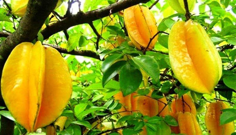 Beautiful Star Fruit Tree
