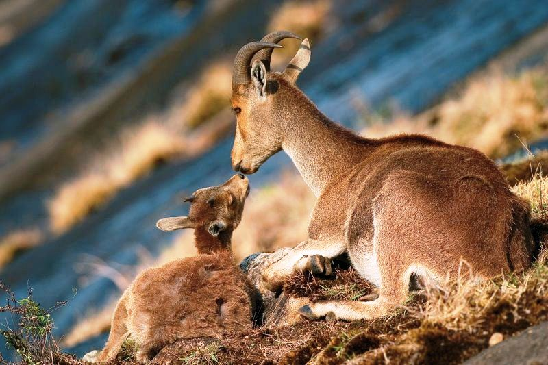 Nilgiritragus hylocrius with baby