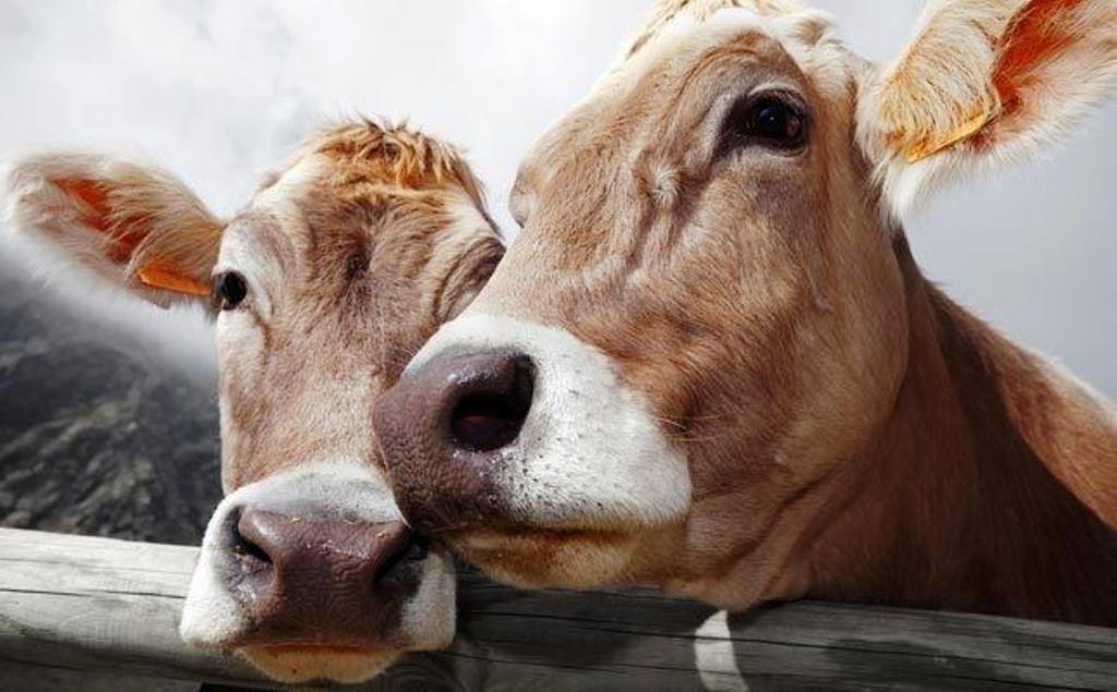 Cattle Estrus signs