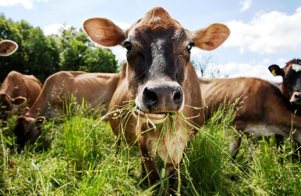 Fresh Grass feed for Cattle