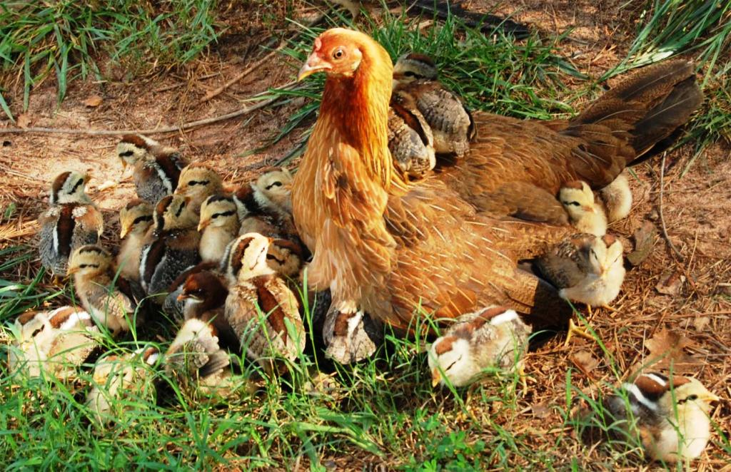 Hen with her babies