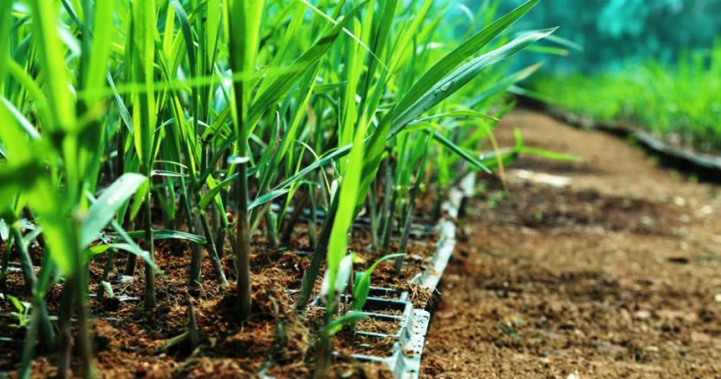 Sugarcane drip irrigation