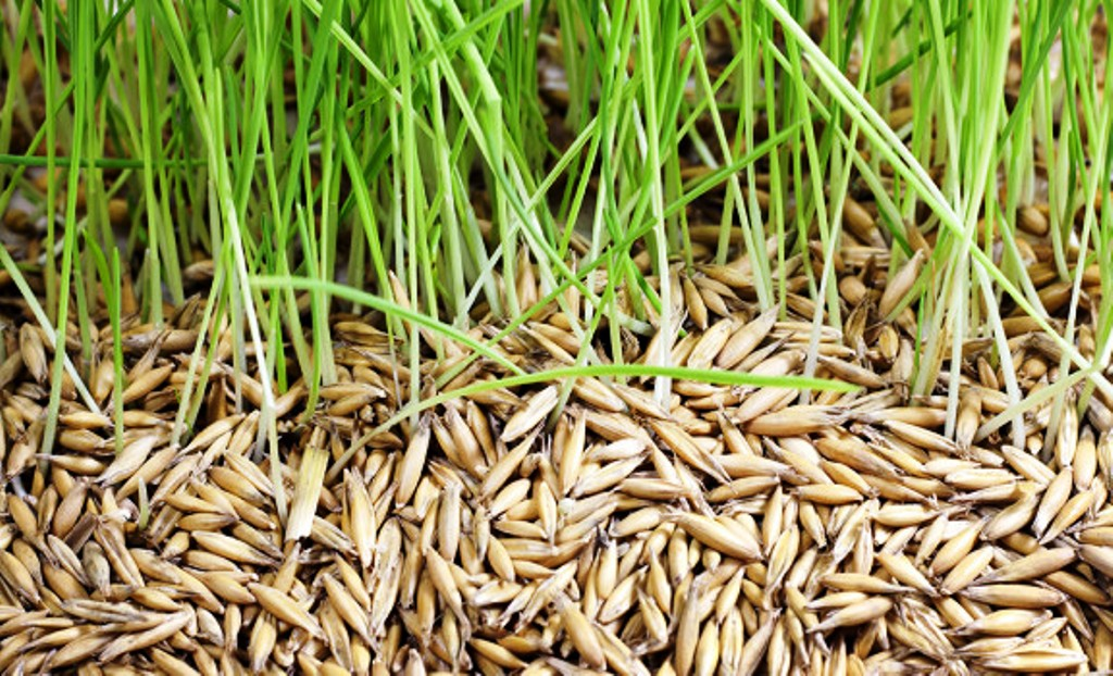 Paddy Seed Treatment