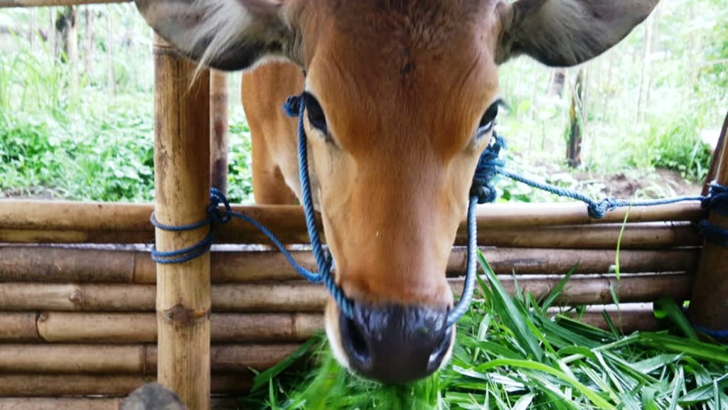Herbal Camp for cattle