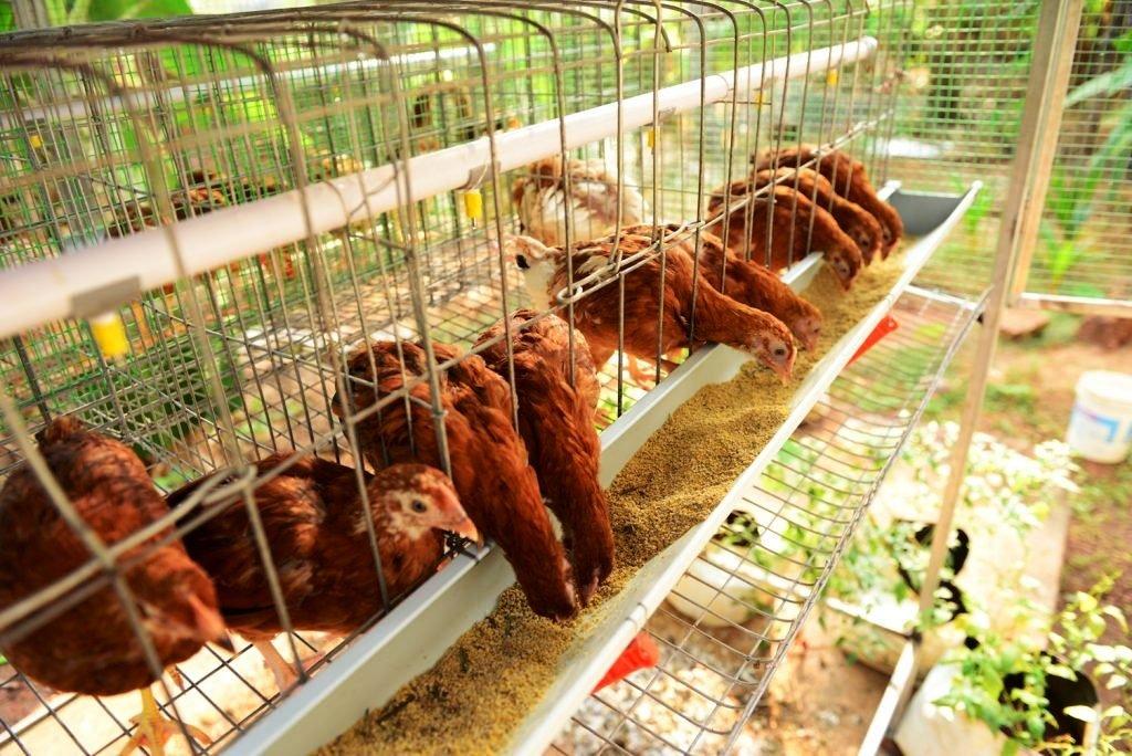 Profitable Poultry Farming