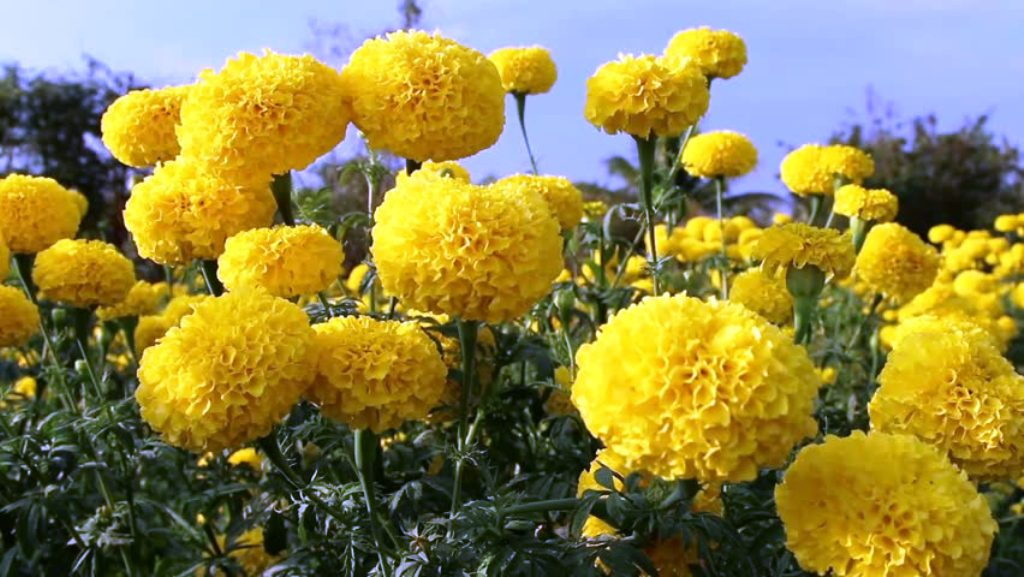 Marigold cultivation