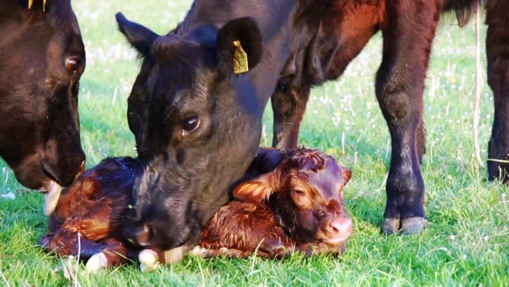 Baby calf Scheme