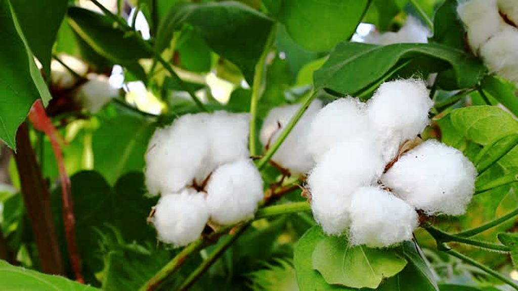 cotton auction held at madurai