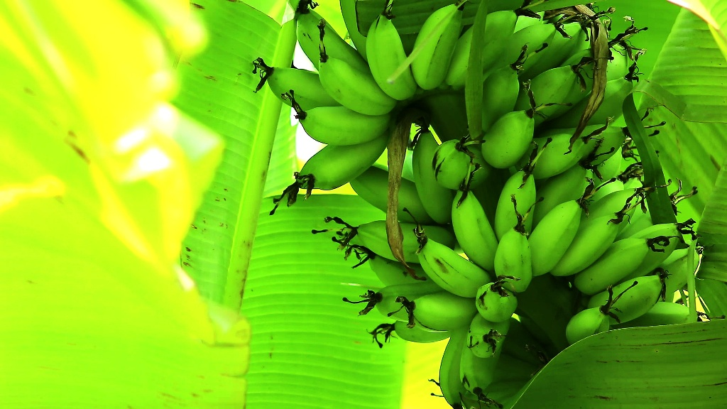 50% Subsidy on Banana Product Marketing - Call to Apply!