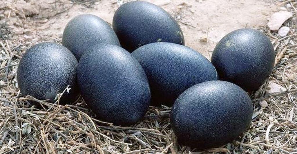 Healthy Kadaknath Egg