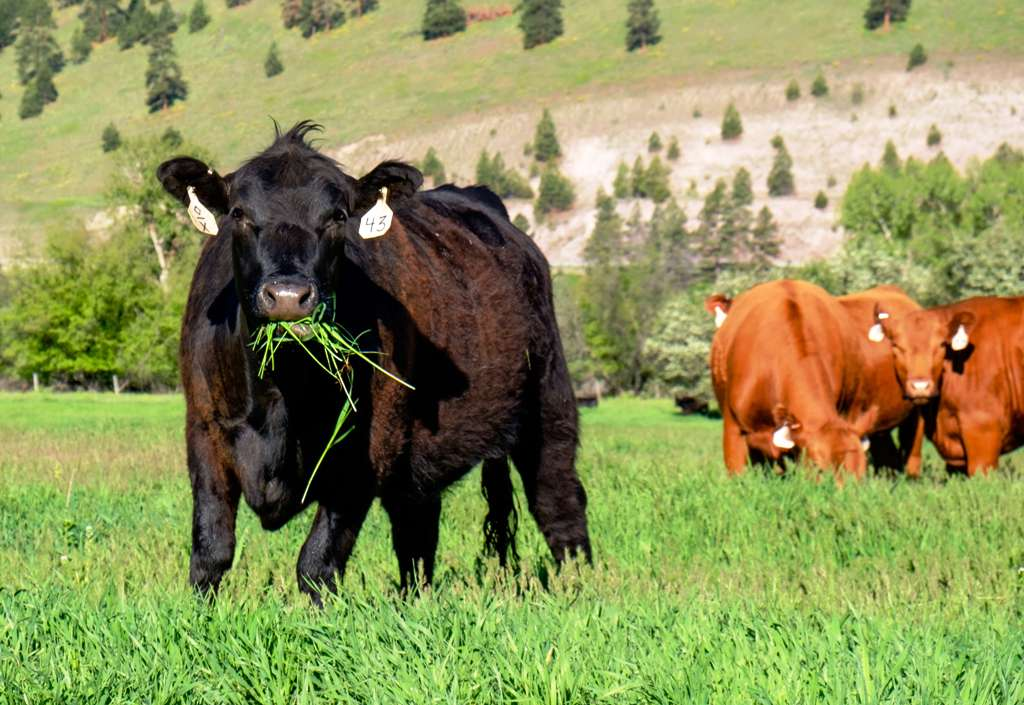 cattle green feed