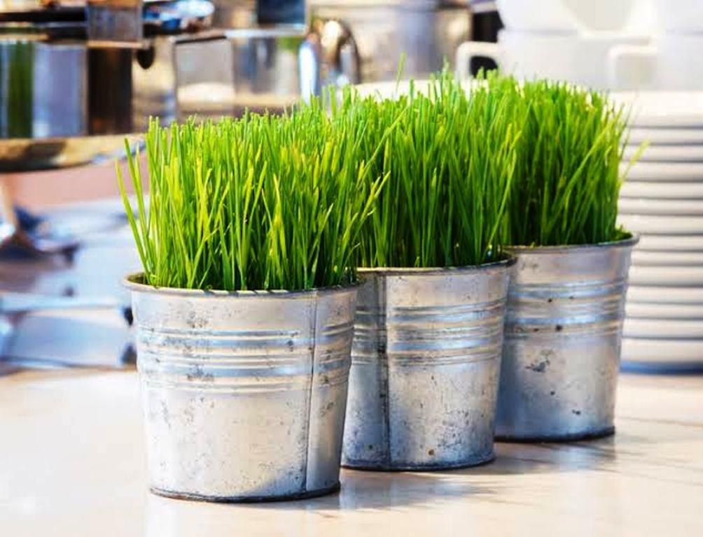 Wheat Grass benefits