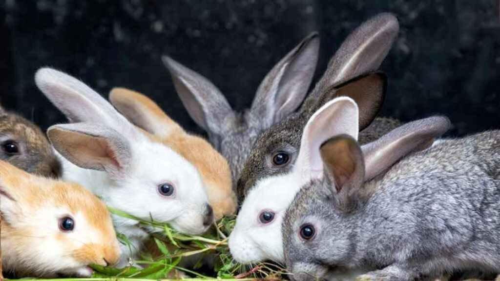 Rabbits farming