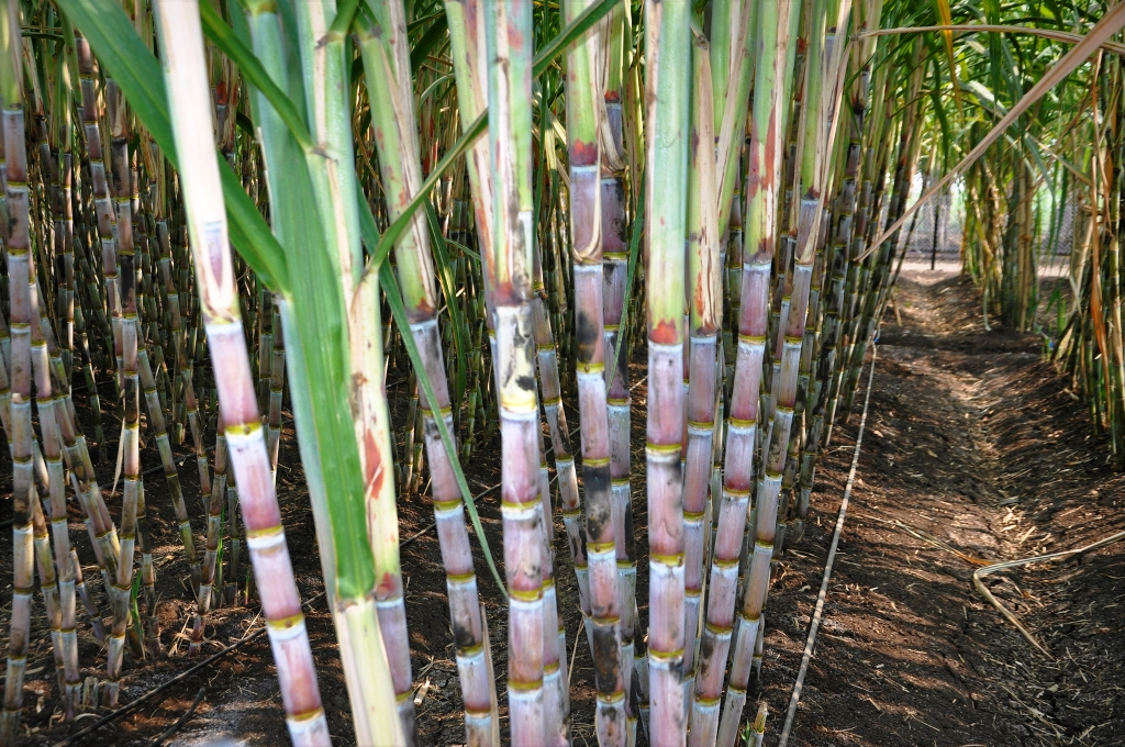subsidise installations across 120 hectares of sugarcane field