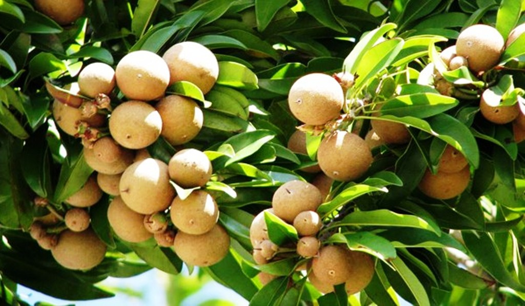 benefits of sapota