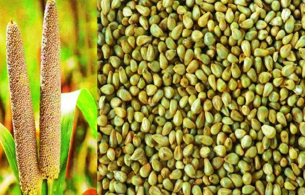 Healthy Pearl Millet from Andhra Field