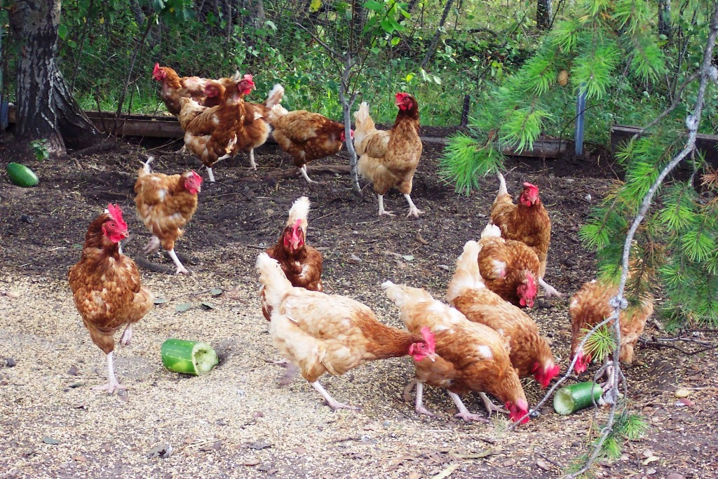 Training for country hen growers