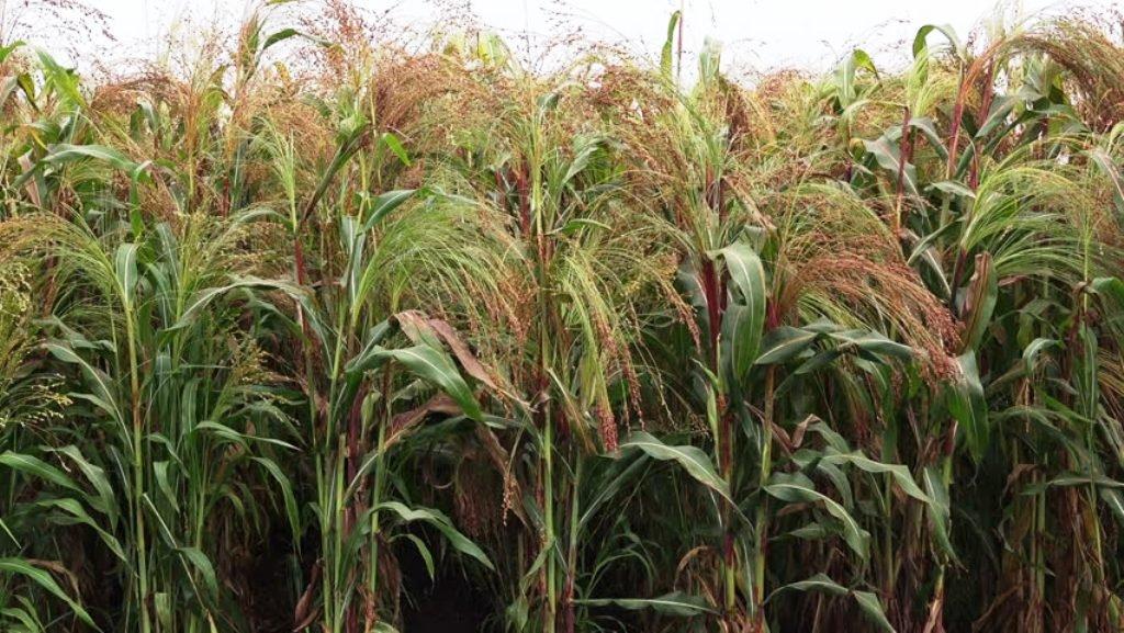 Proso millet cultivation