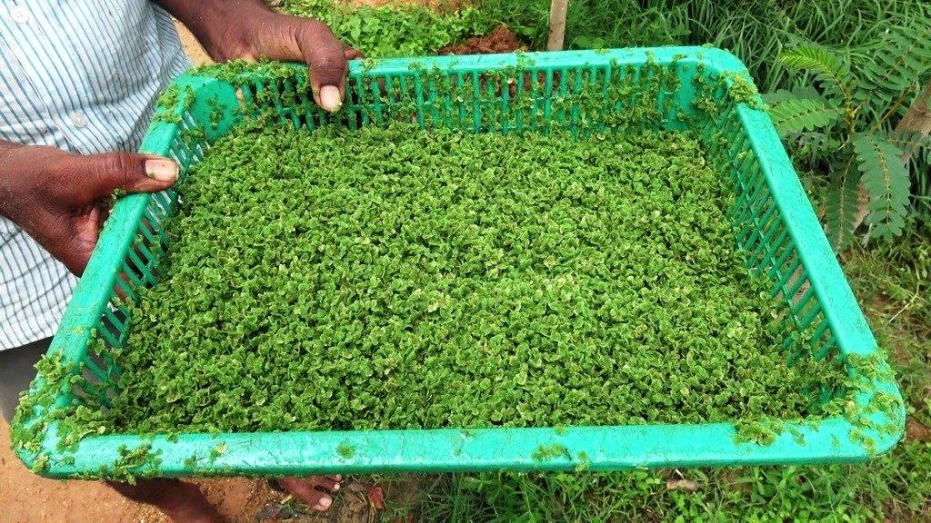 Azolla Cultivation Under the Scheme of Mahatma Gandhi National Rural Employment Guarantee