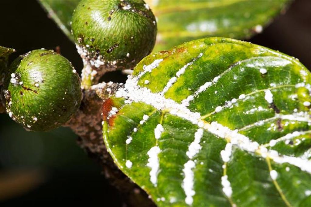 Get Rid of Mealybugs from your plant