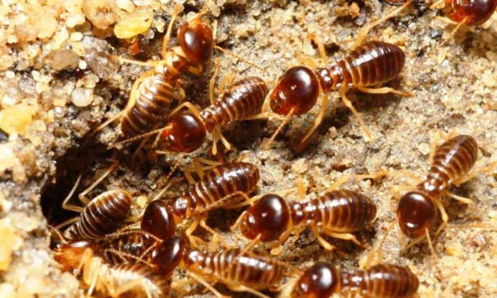 Termites disturbing coconut tree