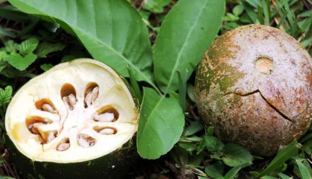 Medicinal Value of Beal Fruits
