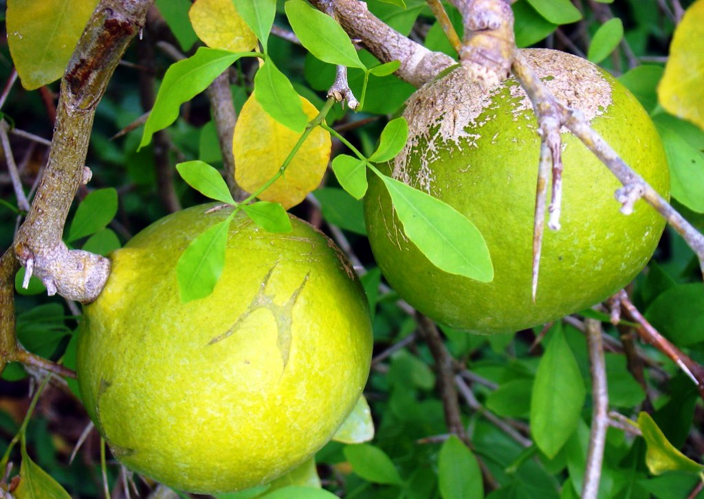 Bael Fruit health Benefits