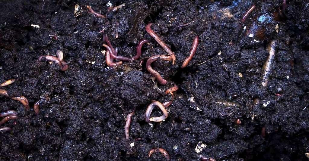 Preparing Vermi compost fertilizer