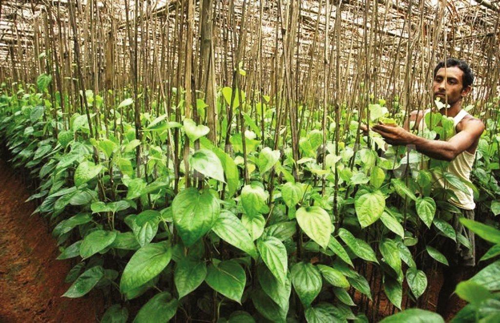 betel cultivation in Tamilnadu