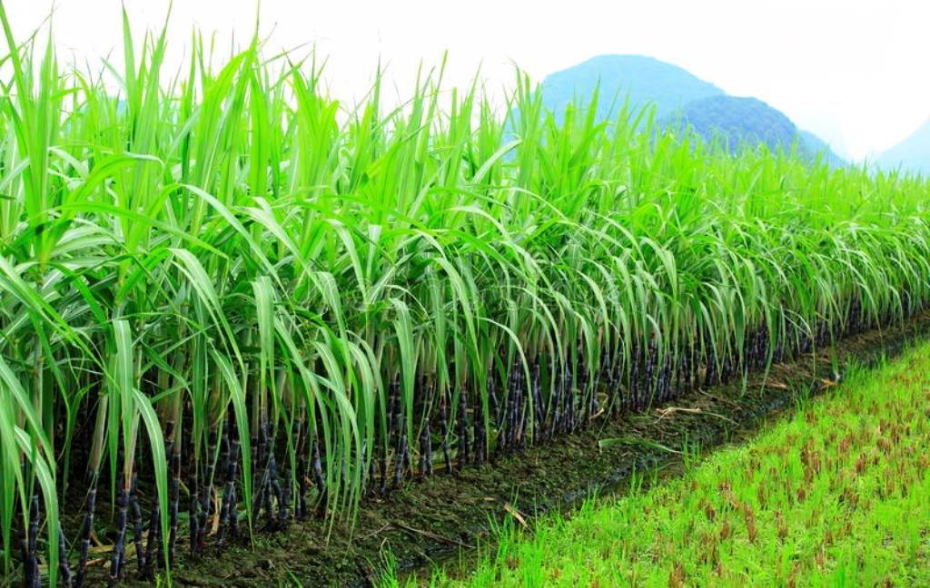 Beast Intercrop for sugarcane